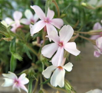 芝樱花(シバザクラ)薄粉红色2个