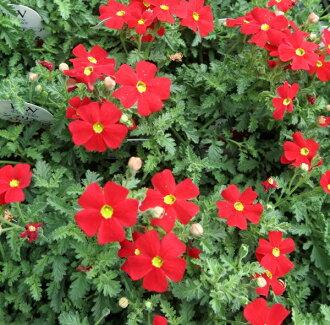 Sun Britannia Scarlett vol. 3.5 seedlings