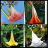 Angel trumpet plants