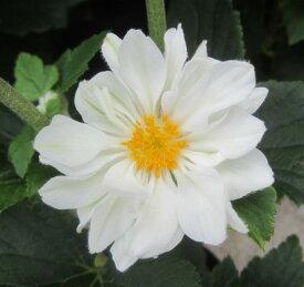 【花終わり】秋明菊(シュウメイギク) 白八重 3.5号苗(e11)