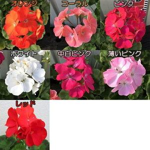 ゼラニウム 3.5号 草花苗 リンゴ2000シリーズ【色別】r