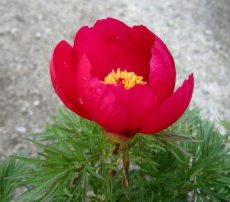 牡丹纱叶盆栽牡丹号 5.5