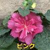 Althaea rosea (alsearosea) spring celebredies 3.5 seedlings H type
