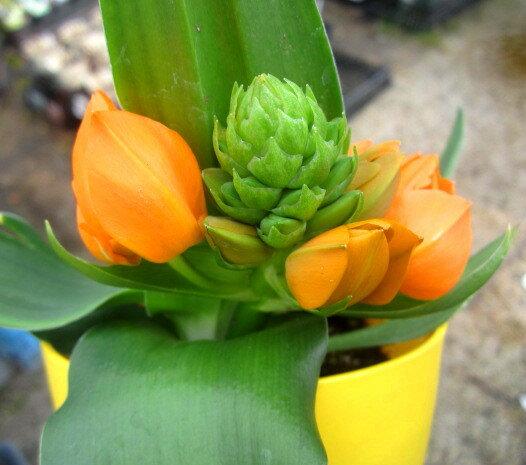 【花終わり】オーニソガラム オレンジ(ダビウム)4号苗(b18)