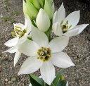 オーニソガラム 白花(ホワイト) 4号