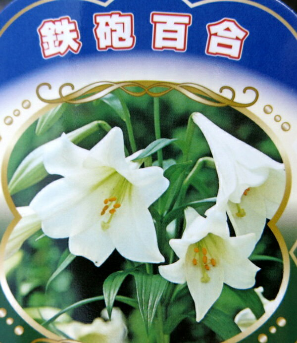 鉄砲百合(テッポウユリ)球根 3.5号ポット苗