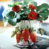 Four seasons consist of Strawberry seedling Aya Red Princess ayabenihime
