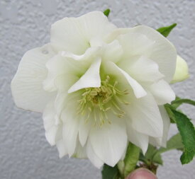 【9月25日より順次発送】クリスマスローズ苗 ダブル咲き(八重咲き) ホワイト 3号苗 (実生苗)