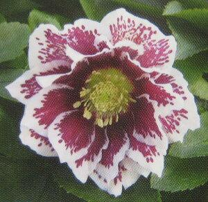 【開花終わり】クリスマスローズ  実生苗  八重咲き ホワイトブロッチ 5号スリット鉢植え(k08)