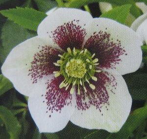 クリスマスローズ 実生苗 ホワイトスポット 一重咲き 5号スリット鉢植え