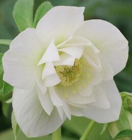 【早期予約品】ミヨシのクリスマスローズ エレガンスアイス 3号苗 八重咲き (ホワイト系)