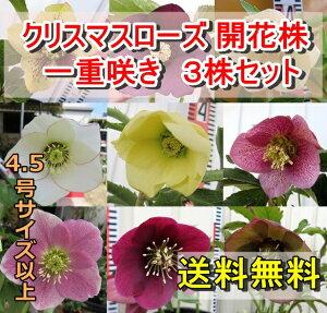 クリスマスローズ開花株一重咲き(シングル)4.5号以上サイズ3鉢セット【送料無料】