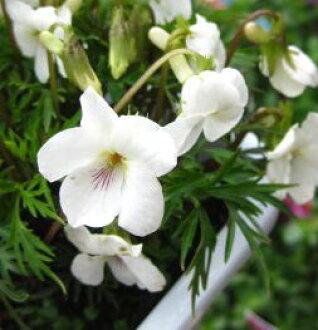 Higo smile (higo violets)