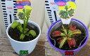 食虫植物(ハエトリグサ)3.5号鉢植