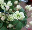 八重咲きクレマチス モンタナ グリーンアイズ 5号鉢植え