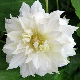 クレマチス ダッチェスオブエジンバラ(白八重咲き) 3.5号苗(J1)