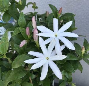 ワイルドスタージャスミン 白花 6号鉢苗(i11)