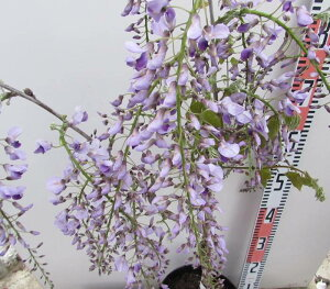 花藤(ハナフジ)苗木 紫花 7号鉢植え 【藤 藤の花 藤の木】