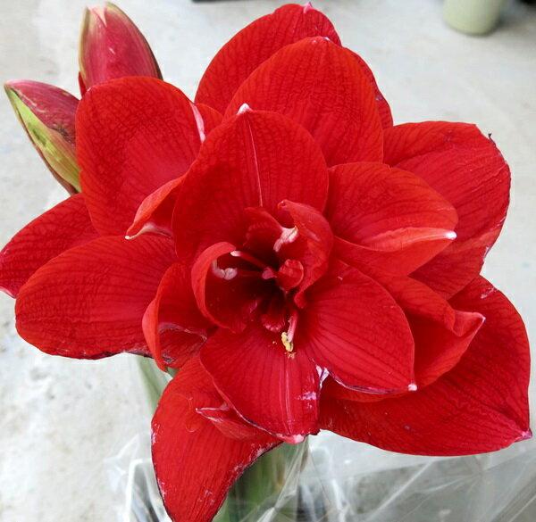 アマリリス チェリーニンフ 6号角鉢植え(b4)