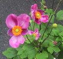秋明菊(シュウメイギク) ハドスペン 4号苗(b15)