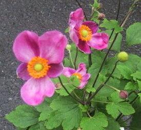 【花終わり】 秋明菊(シュウメイギク) ハドスペン 4号苗(b16)