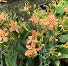 Belamcanda chinensis 5 seedling (c4)