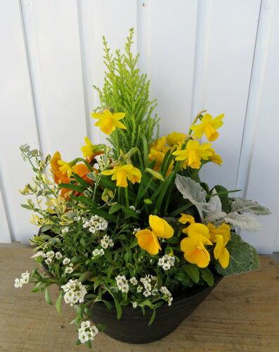 【送料無料】 黄色い花の寄せ植え「水仙」スイセン・テータテート