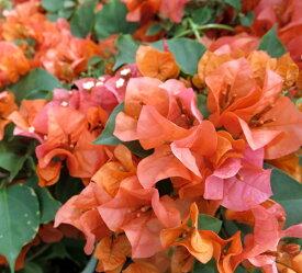 ブーゲンビリア オレンジ 4.5号鉢植え