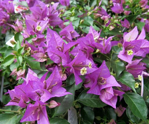 【花少なめ】ブーゲンビリア 薄紫 5号(e2)