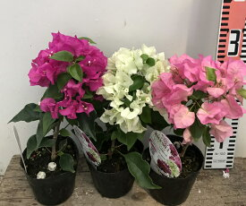 【花終わり】【選べる3色】ガーデンブーゲンビリア 3.5号苗(J1)