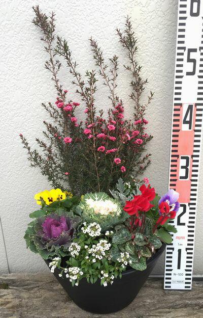 【送料無料】 ギョリュウバイとハボタンの冬の季節の寄せ植え セラアート9号平鉢
