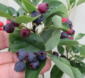 矮性ジューンベリー リージェット(リージェント) 10号フレグラー鉢植え (k13)