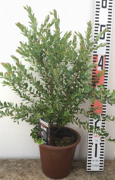 オーナメンタルベリー『インディゴブルー』5号苗【初心者でも育てやすい果樹ブルーベリーの苗木】(d5)