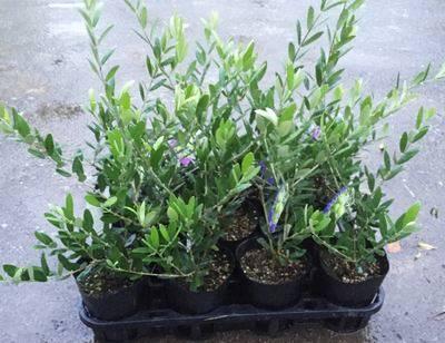 選べるオリーブの木 4号苗 《シンボルツリーに最適なオリーブの苗木、庭木や鉢植えとして人気》 r (g4)