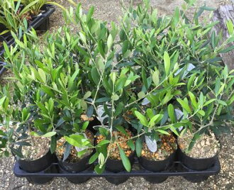 R olive trees 4, seedling チプレシーノ
