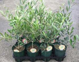 選べるオリーブの木 3.5号〜4号苗(d9)《シンボルツリーに最適なオリーブの苗木、庭木や鉢植えとして人気》 r