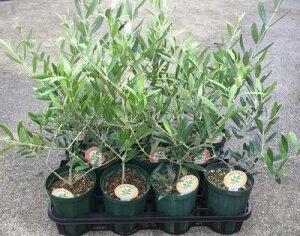 選べるオリーブの木 3.5号〜4号苗(d8) r