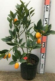 ぷちまる 種なしキンカン金柑苗 5号苗(e3)