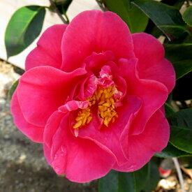 【現品】椿(ツバキ) 四海波(シカイナミ)赤花 1.1m 122501《庭木や鉢植えとして人気な椿の苗木・植木》