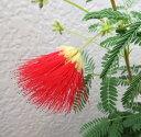 ネムノキ 赤花 3号苗(b17)