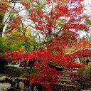 【現品】オオモミジ 大盃(オオサカズキ)1.8m 30224〜30226 落葉樹 紅葉 シンボルツリー
