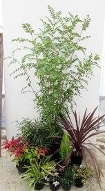 【送料無料】 シンボルツリーのシマトネリコとグランドカバー低木セット