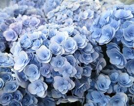 【開花株】アジサイ(あじさい・紫陽花) フェアリーキッス ブルー 5号鉢植え【21年入荷株】