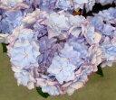 アジサイ(紫陽花・アジサイ) ケイコブルー 5号鉢