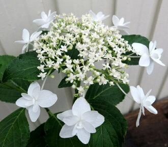 紫阳花(紫阳花、紫阳花)白天使4号苗