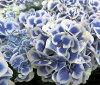 绣球花火星 6,蓝色