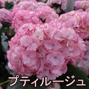 【咲き進み】新品種!アジサイ プティルージュ 4号【17年入荷株】