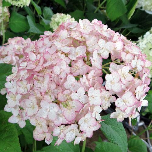 【花なし】アジサイ 新品種アナベル 『ピコティ シャルマン』 4号苗