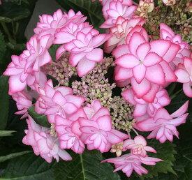 【花咲き進み】アジサイ ひな祭り(ヒナマツリ) ピンク〜パープル 5号鉢植え【21年入荷株】