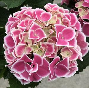 【花傷み】アジサイ(紫陽花・あじさい) HBA チボリ ピンク 5号鉢植え【21年入荷株】